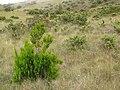 Starr-110705-6591-Erica lusitanica-habit with Kim-Waiale Gulch-Maui (24802378400).jpg