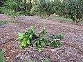 Starr-111116-1303-Citrus sinensis-Washington navel damaged by deer-Hawea Pl Olinda-Maui (24489466054).jpg