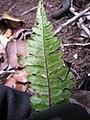 Starr-120425-4903-Doodia kunthiana-sori-Waikapu Valley-Maui (25139855325).jpg