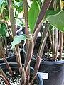 Starr-120613-9669-Zingiber zerumbet-stems-Lowes Nursery Kahului-Maui (24514599734).jpg