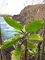 Starr-130319-3065-Kalanchoe pinnata-leaves-Kilauea Pt NWR-Kauai (24912981290).jpg