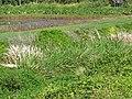 Starr-130322-3769-Zizania latifolia-habit-Hanalei NWR-Kauai (25209490695).jpg