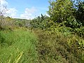 Starr-140909-1686-Mimosa pudica-habit-Wailua-Maui (25219446866).jpg