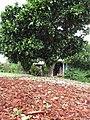 Starr-150301-0361-Citrus sinensis-Washington navel flowering habit-Hawea Pl Olinda-Maui (24897516529).jpg