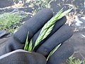 Starr-150325-0489-Bromus catharticus-seedhead-Residences Sand Island-Midway Atoll (25239563166).jpg