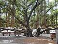 Starr 010914-0080 Ficus benghalensis.jpg