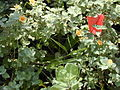 Starr 020617-0006 Alpinia zerumbet.jpg
