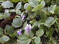 Starr 021012-0011 Pueraria montana var. lobata.jpg