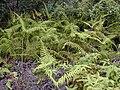 Starr 030405-0238 Diplopterygium pinnatum.jpg