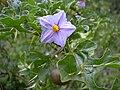 Starr 030628-0107 Solanum linnaeanum.jpg