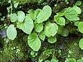 Starr 030807-0144 Begonia hirtella.jpg