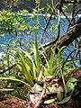 Starr 050405-5841 Cyperus phleoides.jpg