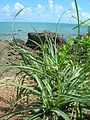 Starr 050419-0344 Cyperus javanicus.jpg