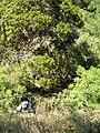 Starr 050817-3826 Acacia mearnsii.jpg