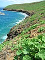 Starr 060405-6987 Malva parviflora.jpg