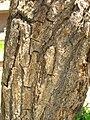 Starr 060922-9127 Erythrina crista-galli.jpg