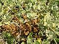 Starr 060922-9182 Chenopodium oahuense.jpg