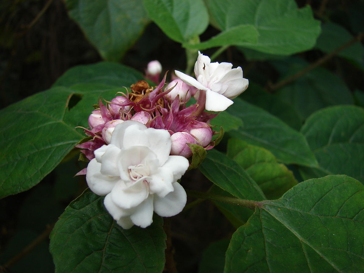 Clerodendrum Chinense Wikispecies