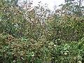 Starr 070308-5390 Montanoa hibiscifolia.jpg