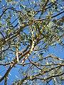 Starr 071227-1044 Prosopis glandulosa.jpg