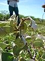Starr 080603-5693 Solanum nelsonii.jpg