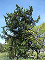 Starr 080604-6191 Juniperus bermudiana.jpg