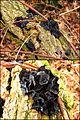 Stoppelige Drüsling (Exidia glandulosa s. orig., Syn. Exidia truncata) - hms(1).jpg