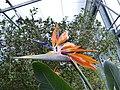 Strelitzia reginae Frutigen 2.jpg