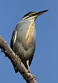 Striated heron, Butorides striata, up in a dead tree at Pilanesberg National Park, Northwest Province, South Africa (27795707322).jpg