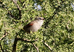 Stripe-crowned Spinetail (Cranioleuca pyrrhophia) (15774695687).jpg