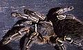 Striped-knee Tarantula (Aphonopelma seemanni) (36733184235).jpg