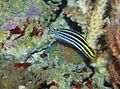Striped poison fang blenny - Meiacanthus grammistes.jpg