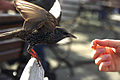 Sturnus vulgaris -hand feeding -London-8.jpg