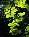 Sunlight on beech leaves in Gullmarsskogen ravine 5.jpg