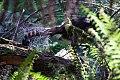Superb Lyrebird (Menura novaehollandiae) (8079617147).jpg