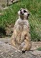 Suricata suricatta qtl3.jpg