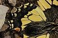 Swallowtail - Papilio machaon (30492957168).jpg