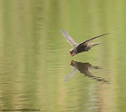 Swift (Apus apus) 1.jpg