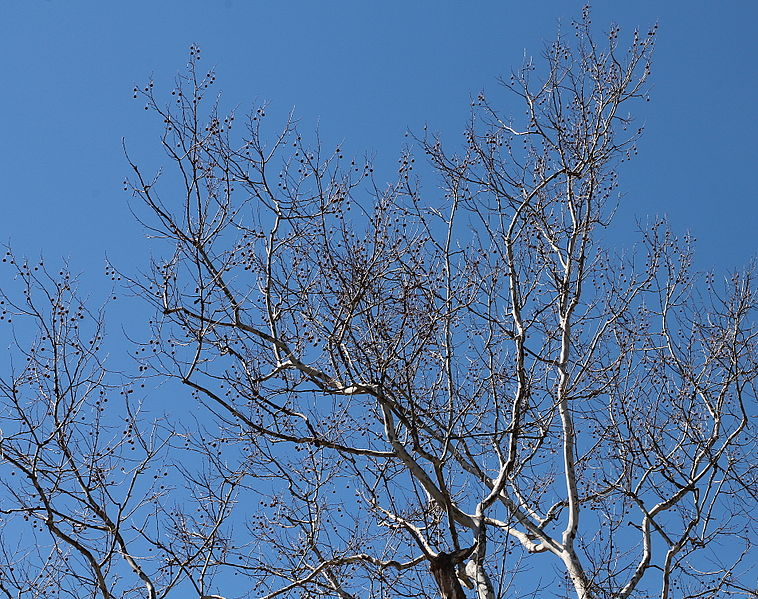 File:Sycamore tree branches in March.JPG