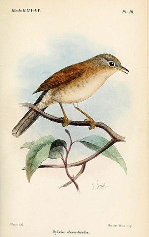 Tristram's warbler - Image: Sylvia Deserticola Keulemans