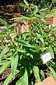 Symphytum officinale - Orto botanico - Rome, Italy - DSC00128.jpg