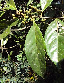 Symplocos cochinchinensis 14.JPG