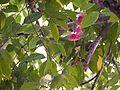 Syzygium laetum (Buch.-Ham.) Gandhi (6928928021).jpg