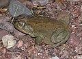 TOAD, SONORAN DESERT (Bufo alvarius) (8-6-13) 78 circulo montana, patagonia lake ranch estates, scc, az -01 (9466158294).jpg