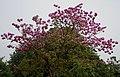 Tabebuia impetiginosa (Pink Trumpet tree) in Hyderabad, AP W IMG 2606.jpg