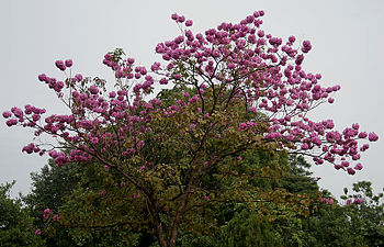 English: Pink Trumpet tree, Pau d'arco, Pink I...