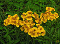 Tagetes lucida, the Sweetscented Marigold (9468459349).jpg