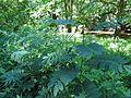 Tall Senna - Flickr - treegrow (1).jpg