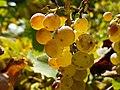 Tarnaveni - harvest - beauty - panoramio.jpg