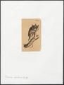 Tarsius spectrum - 1833-1839 - Print - Iconographia Zoologica - Special Collections University of Amsterdam - UBA01 IZ19700149.tif